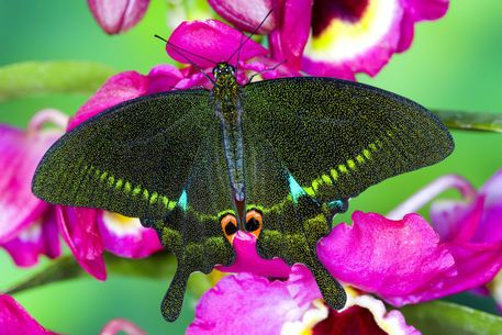 Washington Tropical Butterfly Photograph of Swallowtail Papilio ...
