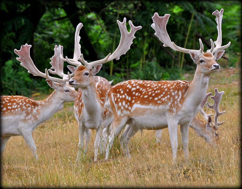 Standing Proud - Fallow Deer Stags | Fallow deer, Deer species and ...