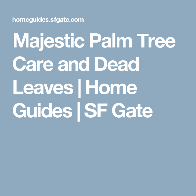 Gardens · majestic palm tree care and dead leaves home guides sf gate