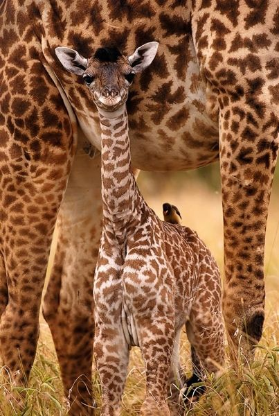 2 Girafas