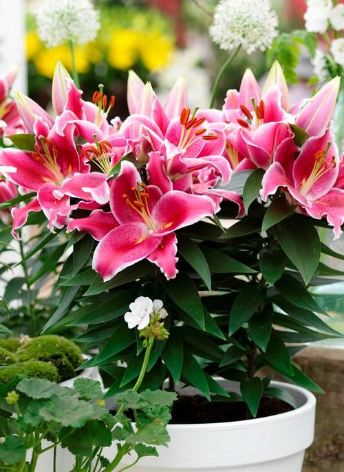 Oriental lily after eight all about the lily plant pinterest oriental lily after eight workwithnaturefo