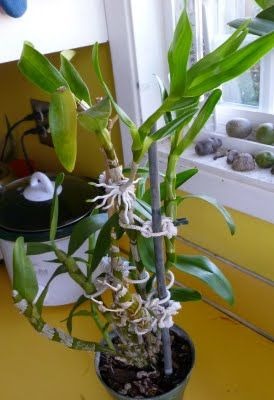 Keikis What They Are And What To Do With Them Dendrobium Orchids Care Dendrobium Orchids Dendrobium Nobile