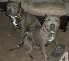 Image Result For Razor Edge Gotti Pitbull Breed With Pitbull