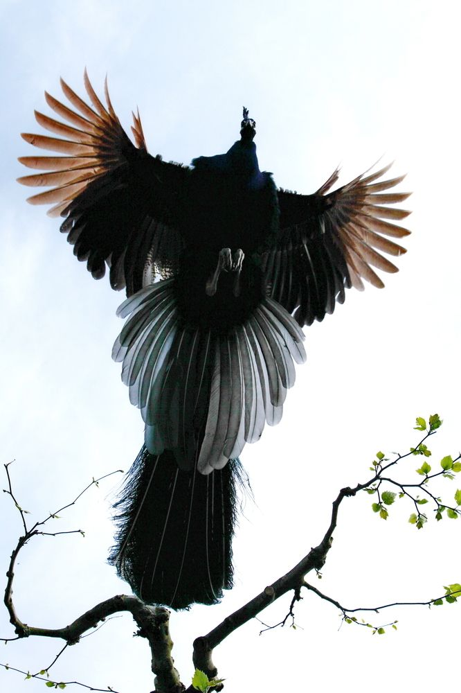 The Flying Peacock - by Bjorn Seisselberg