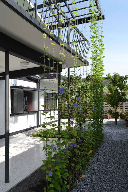 Trellis system - morning glory and stainless steel cables as a screen to block morning sun
