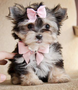 Just precious!!! Tiny Teacup Morkie Princess. She has the cutest little teddy bear face. Very short nose and body. Very short legs. Beautiful lush thick black and tan coat. She weighs 17 oz at 9 weeks. Price: $2,800.00