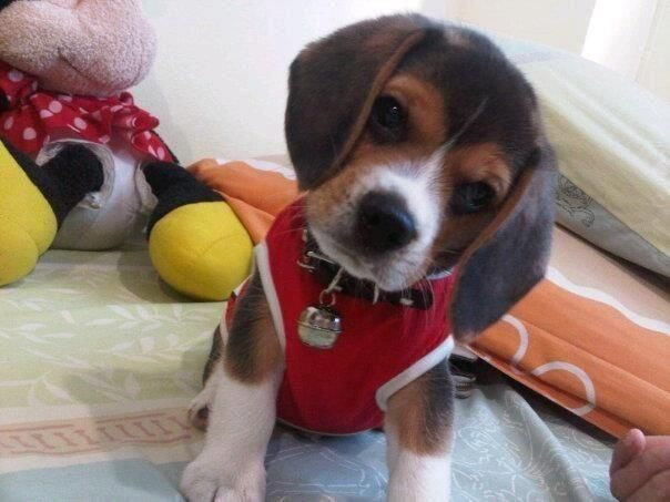 I Am All Dolled Up Where Are We Going Beagle Puppy Cute
