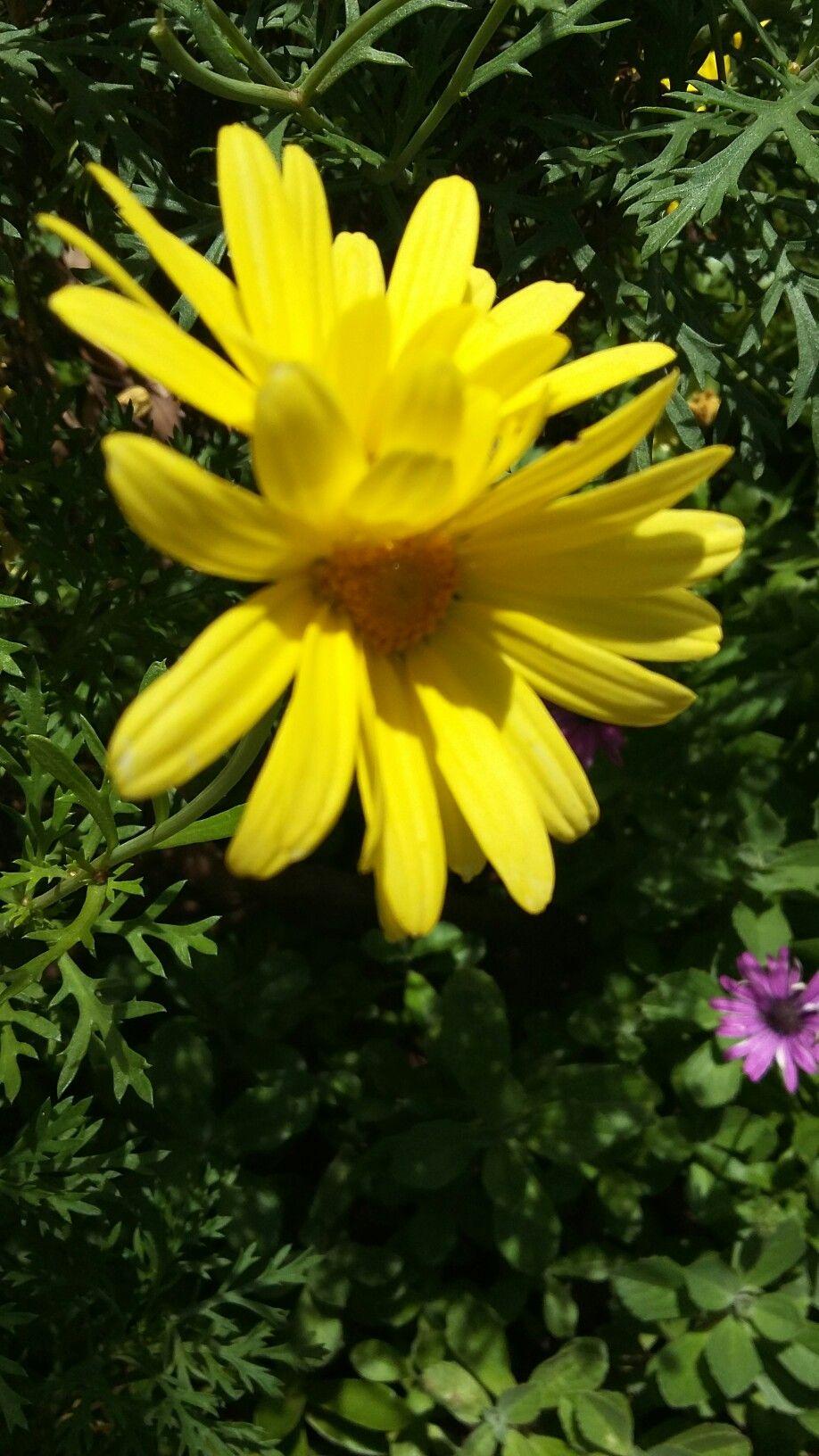 Double Daisy Garden Gifts Pinterest Gardens