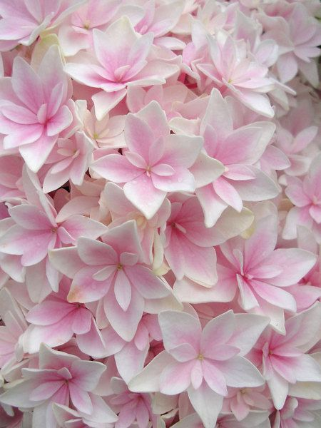 Hydrangea double delights freedom botanical pinterest hydrangea double delights freedom mightylinksfo