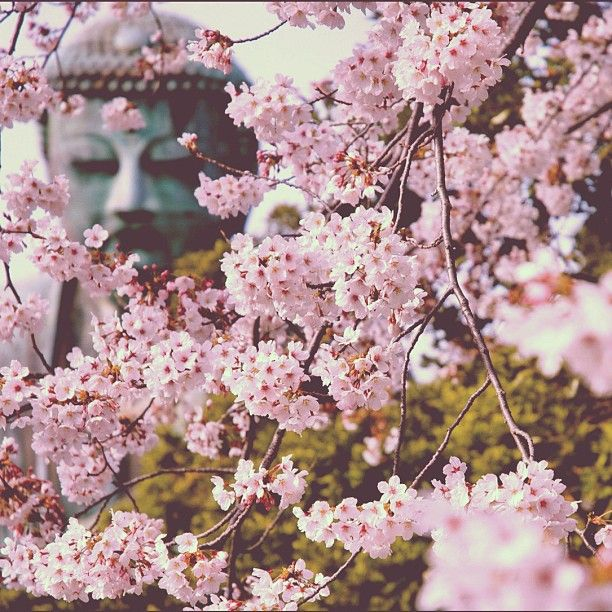 Great Buddha with beautiful Sakura 高徳院  鎌倉