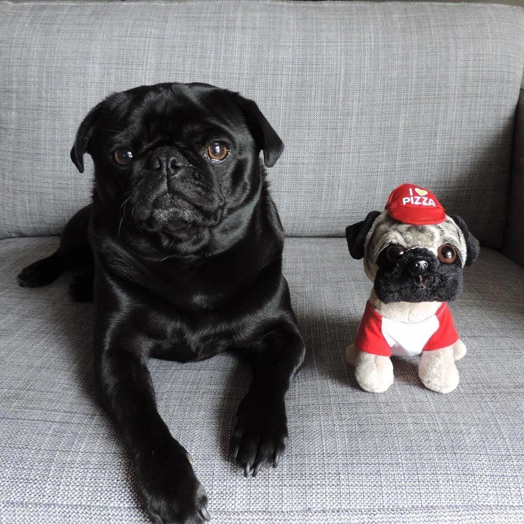 Fantastic Black Pug Pups Xx Detail Is Readily Available On Our