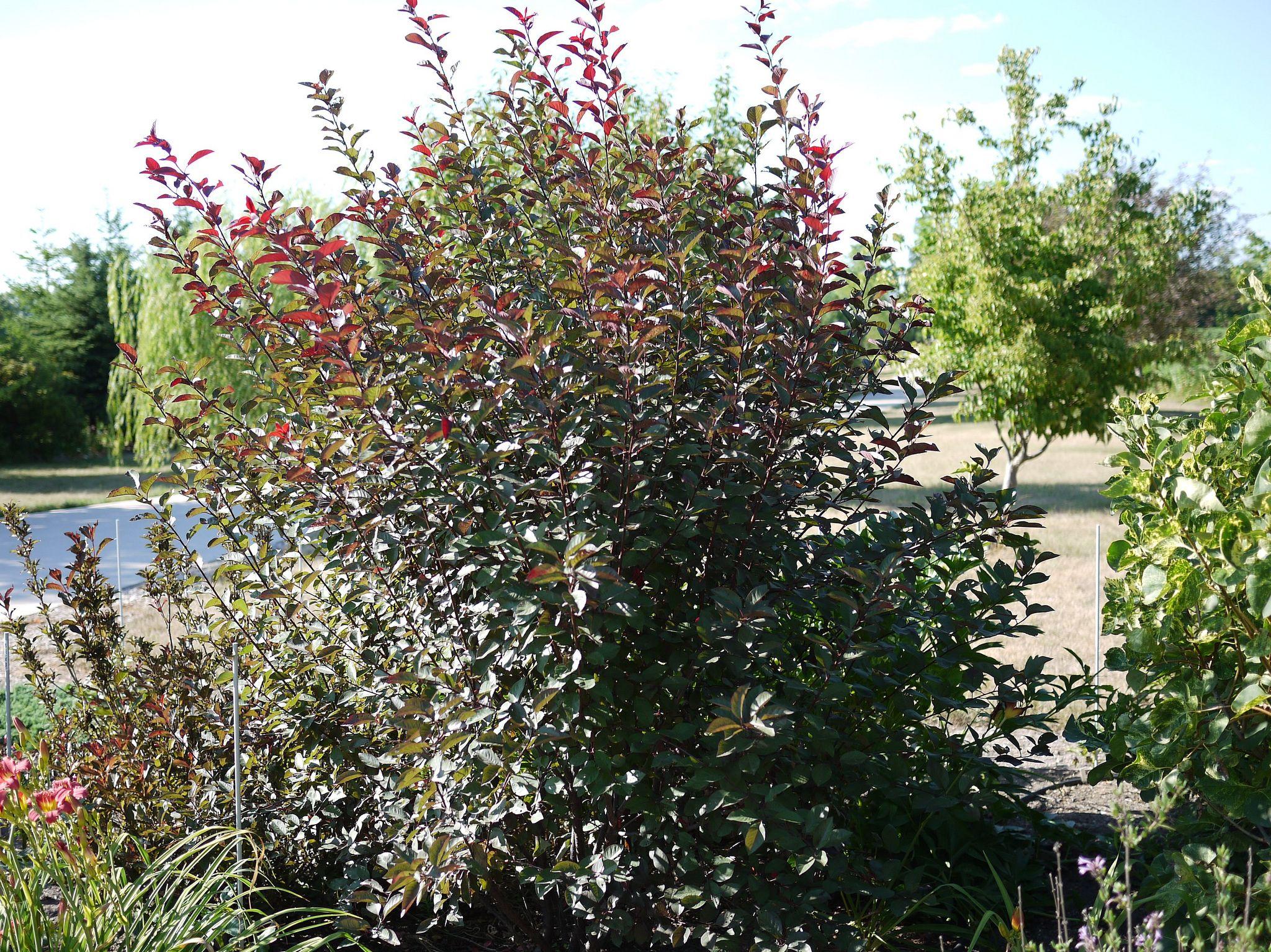 Purple leaf shrub with pink flowers - Purple Leaf Sandcherry Is Valued For Its Reddishpurple Foliage And Pale Pink Blooms Purple