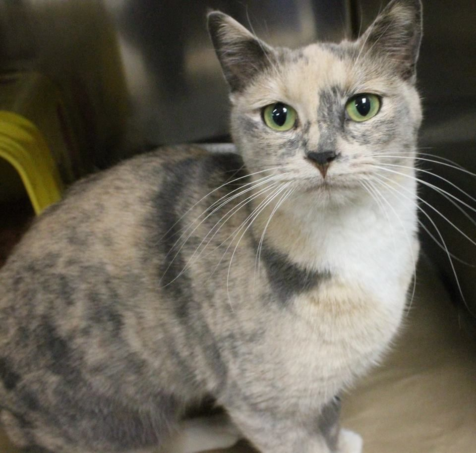 RESCUED>Intake: 11/21 Available: 11/27 NAME: Violet  ANIMAL ID: 30243078 BREED: DSH  SEX: Female  EST. AGE: 2 yrs  Est Weight: 8.7 lbs  Health:  Temperament: Friendly  ADDITIONAL INFO:  RESCUE PULL FEE: $39