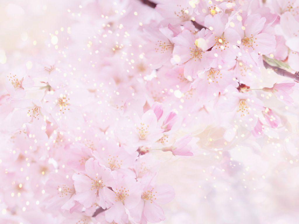 Cerisiers Japonais Beau Fond Ecran Papier Peint A Fleurs Fleurir