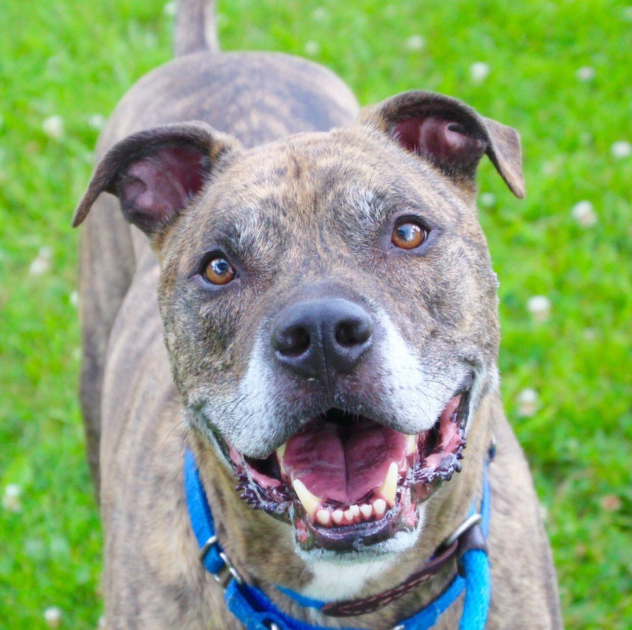 Adopt Ox on Terrier mix dogs, Pitbull terrier, Bull
