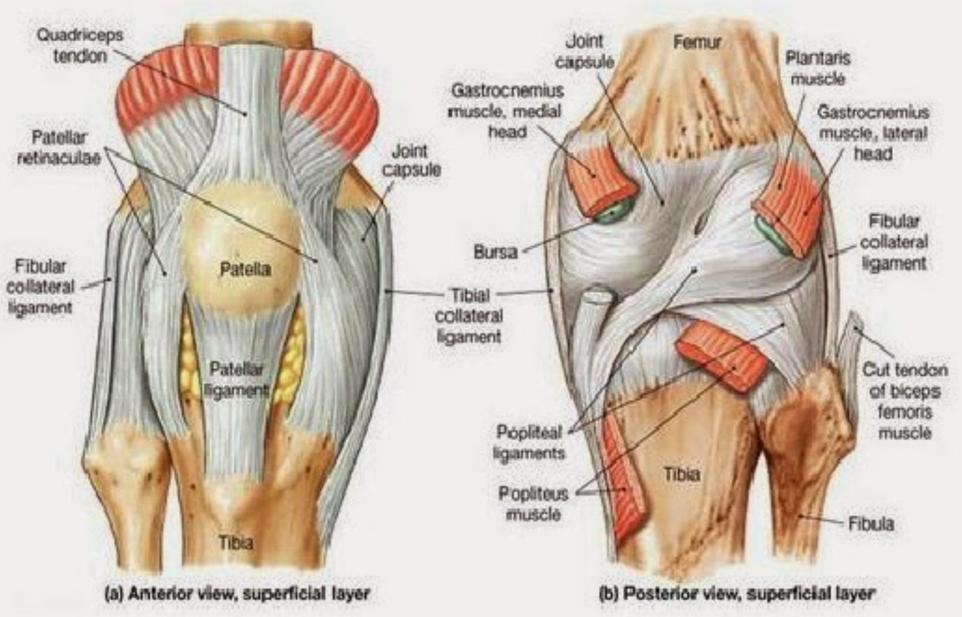 Anterior And Posterior Aspects Of The Knee Netter Anatomy