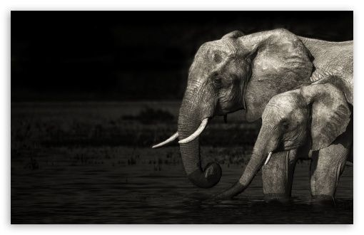 elephant high resolution pictures black and white Google