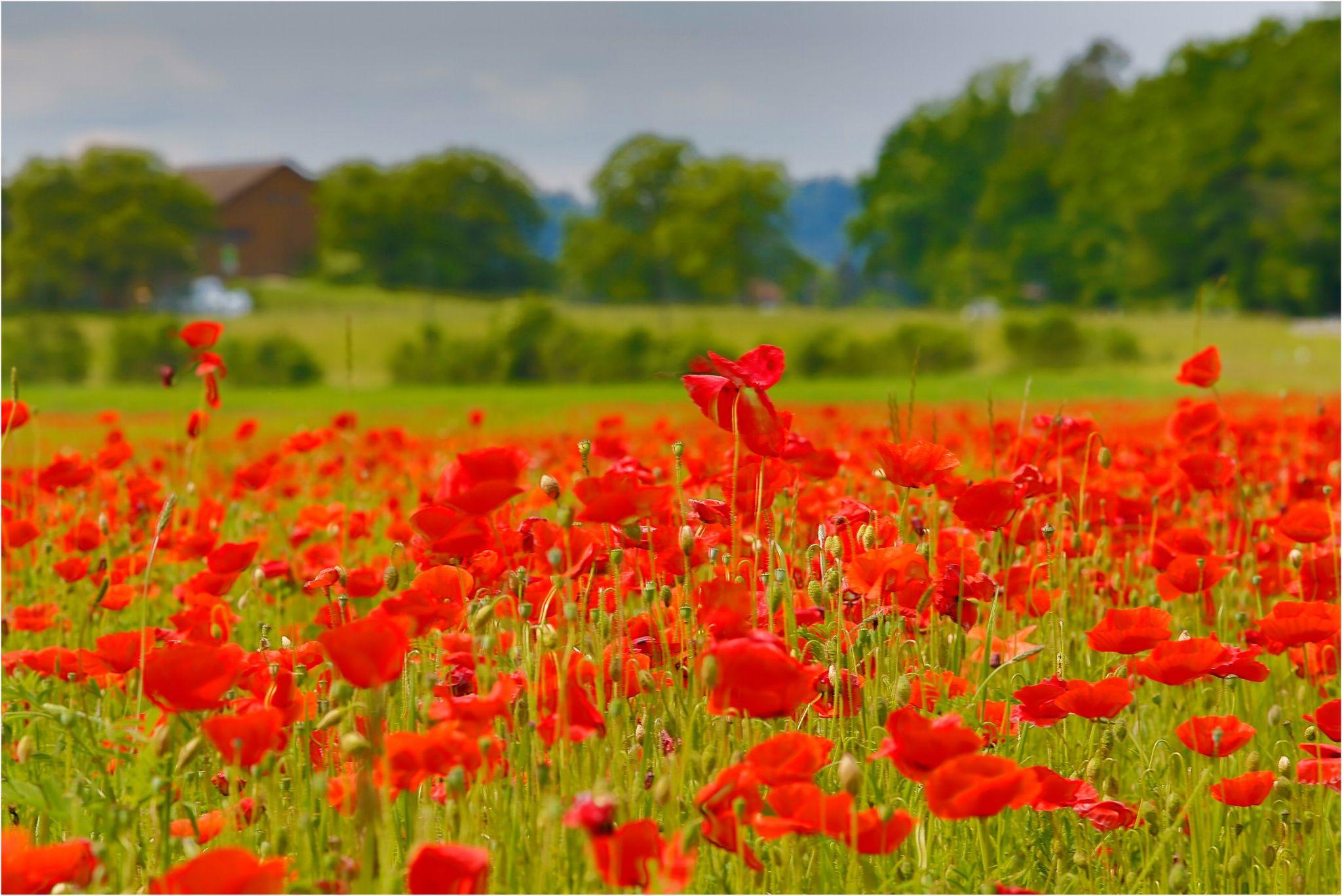 Mohn Blumenfeld Flower Field Fantastic Art Papaver