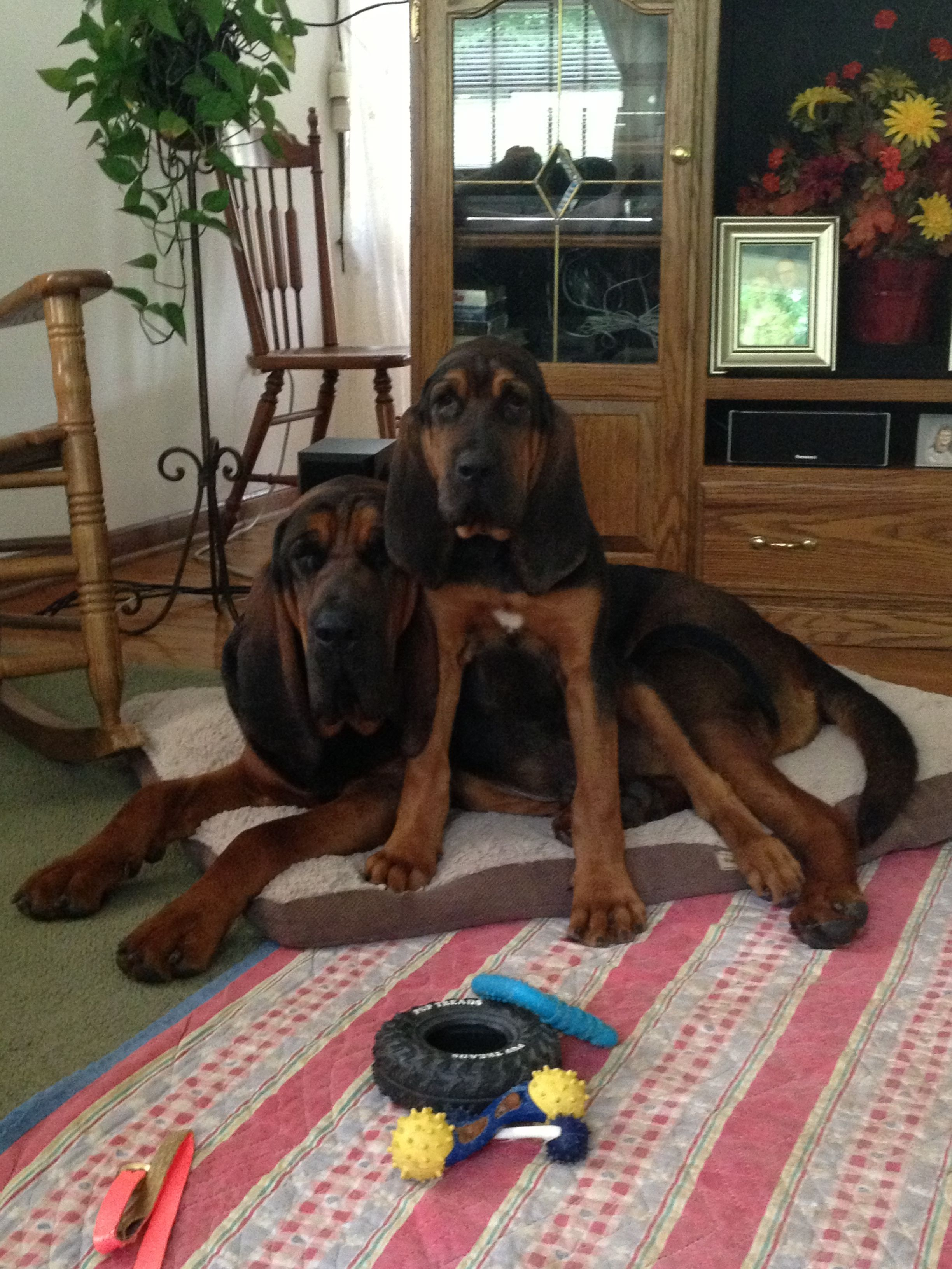 Bloodhound Dogs For Sale Near Me Ideas