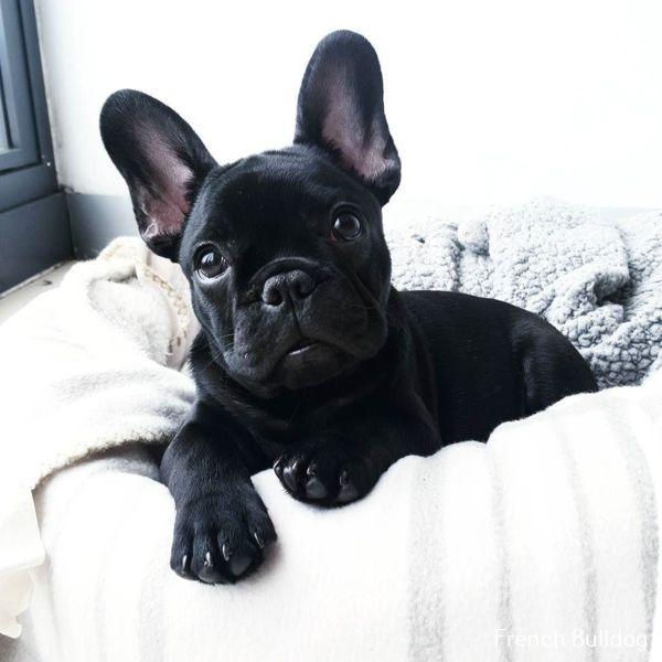 Photo of Taza de té atigrada de bulldog francés