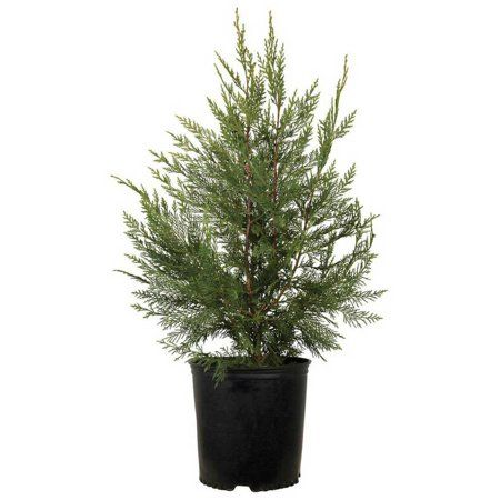 Free Shipping On Orders Over 35 Buy Leyland Cypress Evergreen Tree