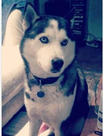 Lostdog 12 30 13 Stolen Sanantonio Tx Siberianhusky Male