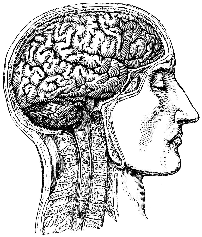 Brain and skull anatomy