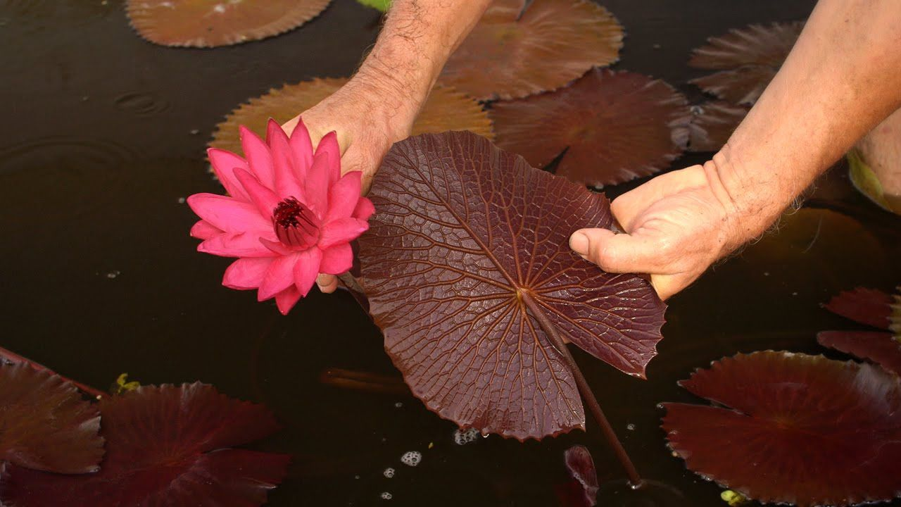 Tropical water lily red cup water lilies 36 tropical water tropical water lily red cup water lilies 36 izmirmasajfo Images