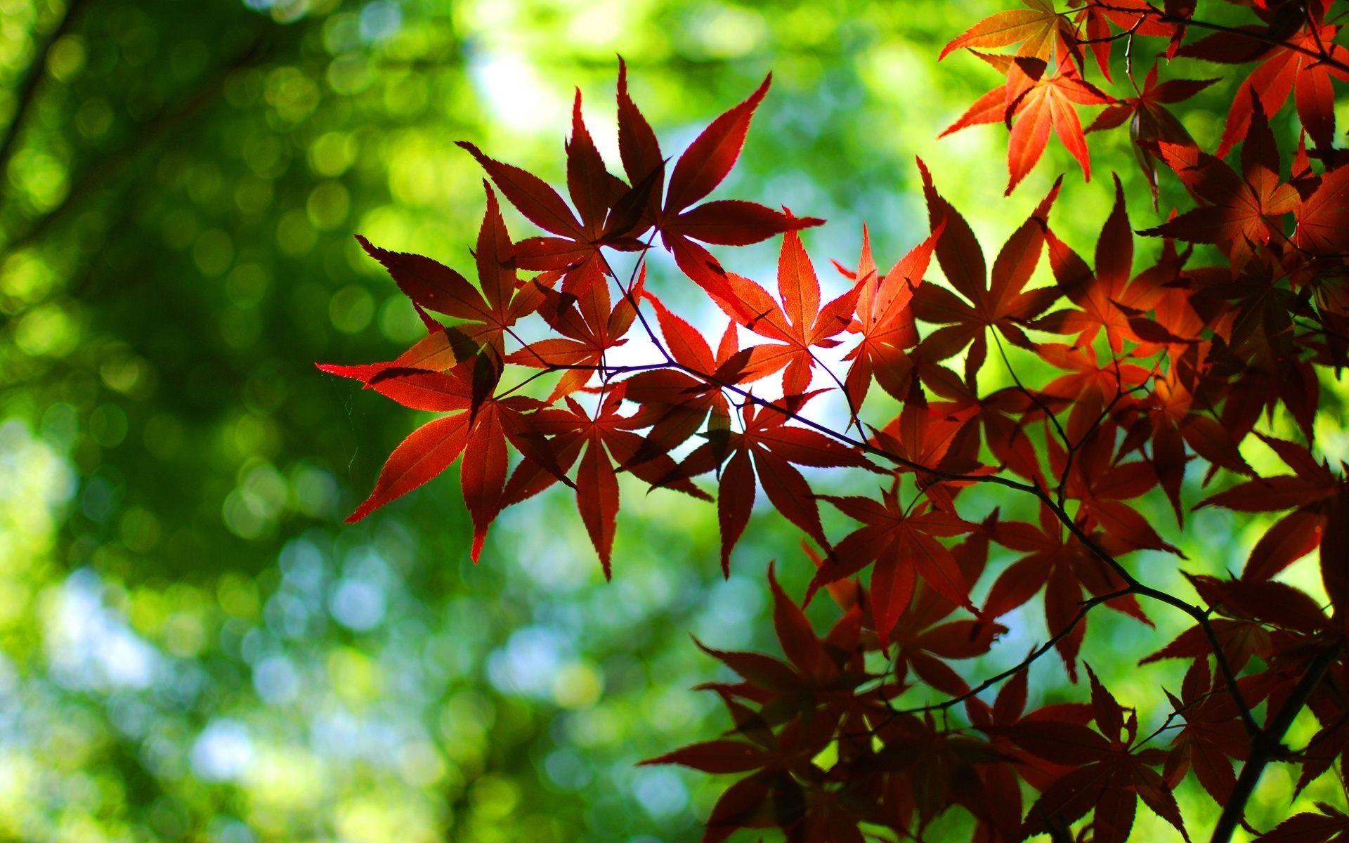 Japanese Maple Tree Leaves   Pretty   Pinterest   Tree leaves ...