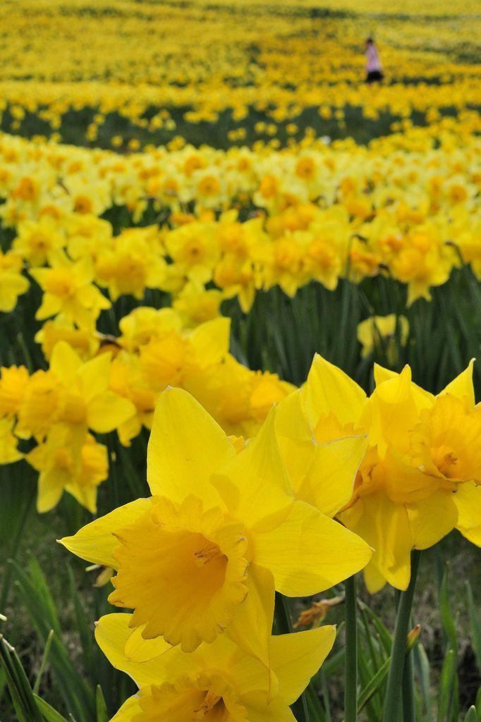 水仙 琵琶湖バレイ Daffodils Spring Flowers Yellow Flowers