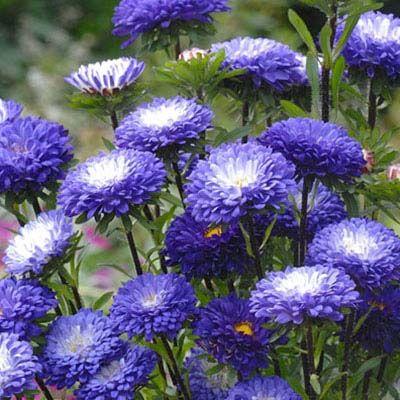 Aster Matsumoto Blue Tipped White Flower Garden Plans Aster Flower Flowers Perennials