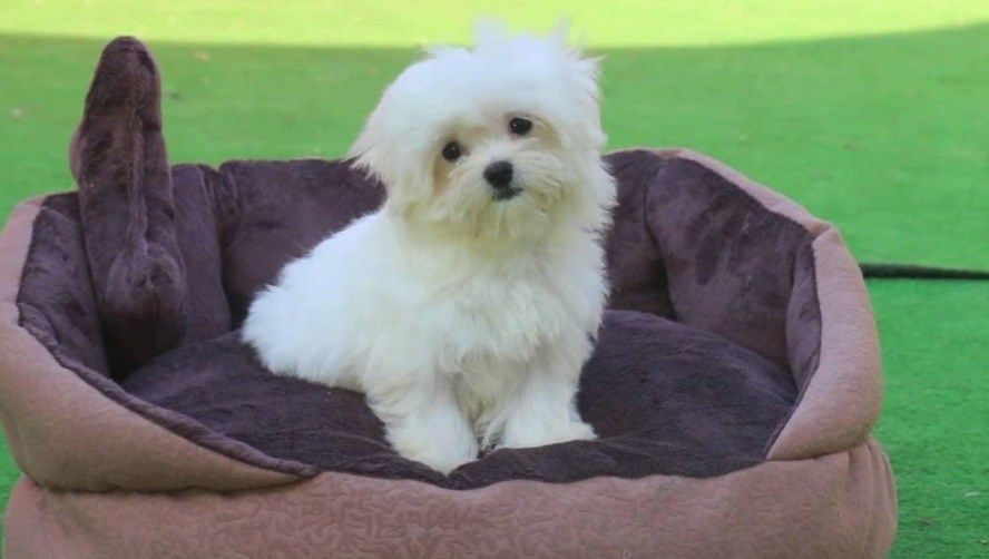 20 Cool Facts About The Maltese Breed Maltese Dog Breed Maltese