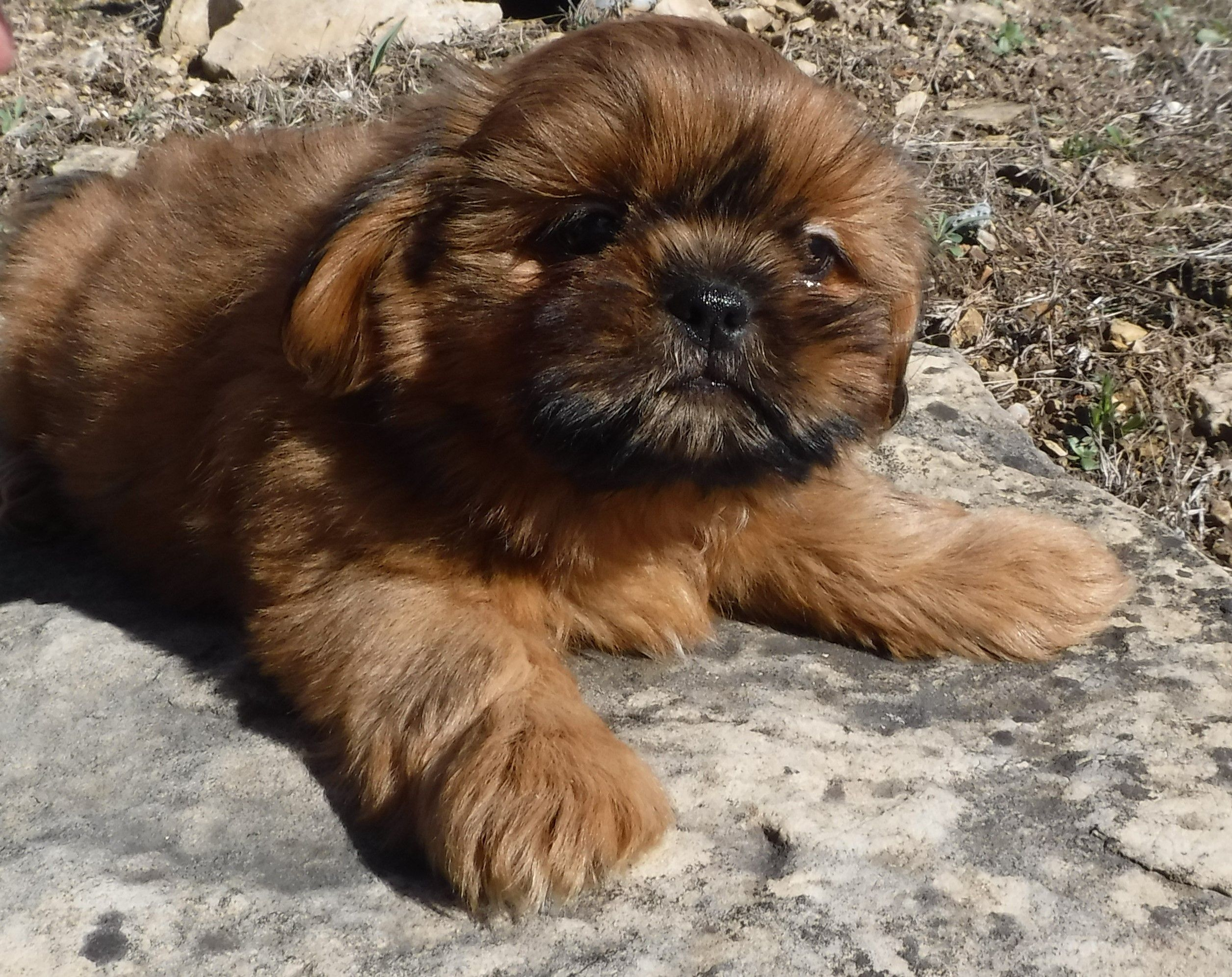 Boo Boo Bear Is A Red Shih Tzu From Glory Ridge S London And Cashmere He Is Sold Shih Tzu Therapy Dogs Animal Companions