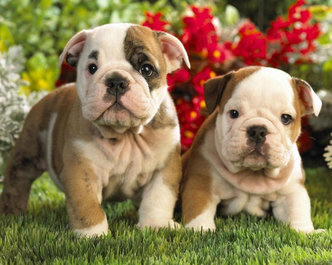 Bulldog Puppies Wallpaper Cute Bulldog Puppies English Bulldog