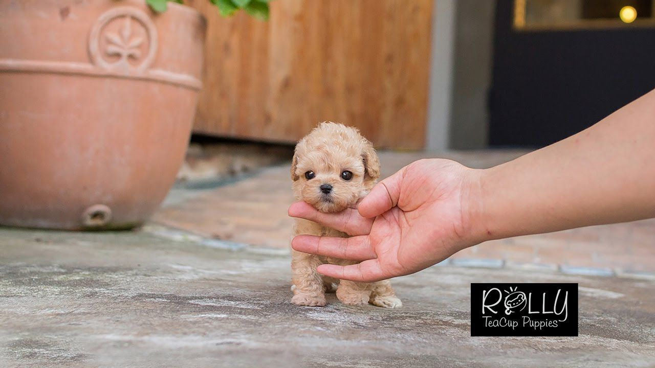 Cream Coat Loving Personality Poodle Belle Rolly Teacup