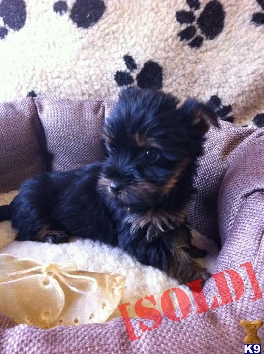 Mini Yorkie Puppies For Sale Contact Information Contact Contact