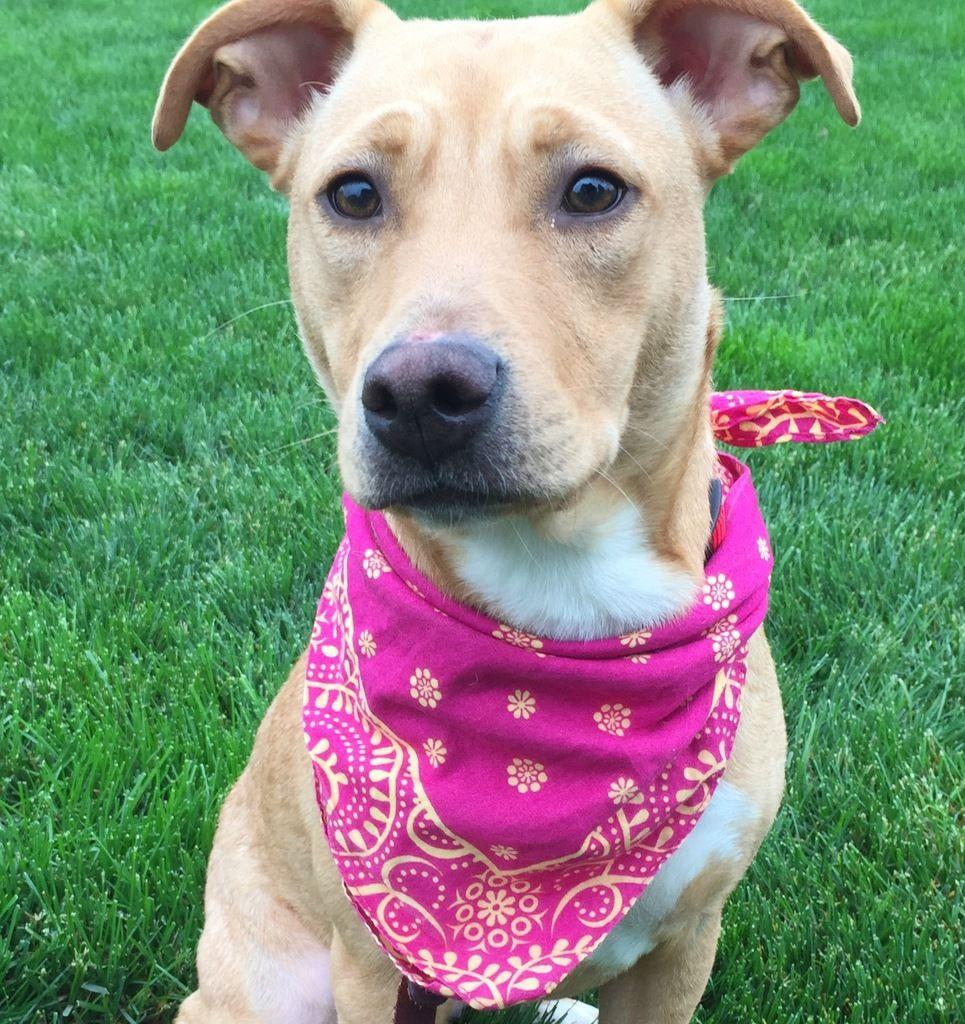 Simmy Operation Paws for Homes NOVA Pet Adoption Dog