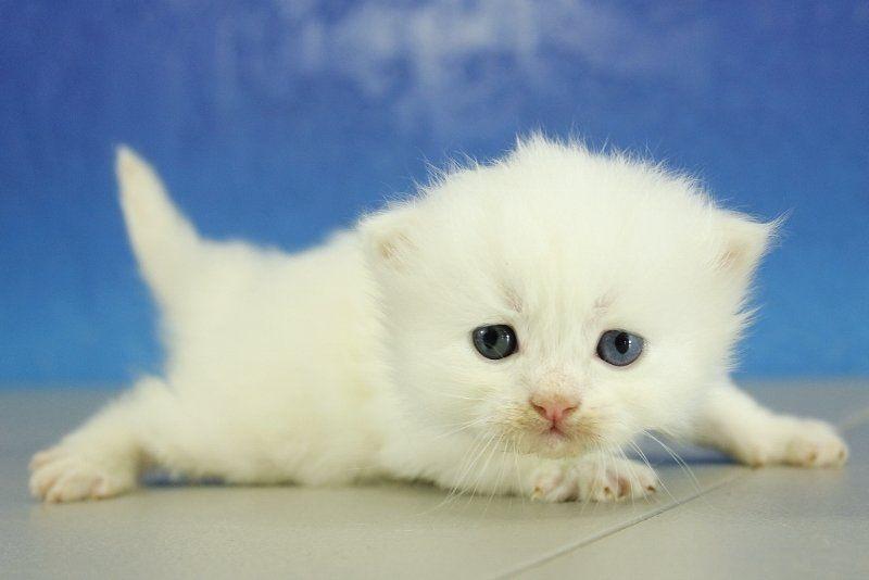 Owen White Solid Male Ragamuffin Kitten Ragamuffin Kittens Ragamuffin Cat Cats And Kittens