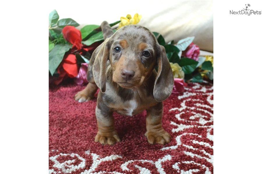Dachshund Mini Puppy For Sale Near Spokane Coeur D Alene
