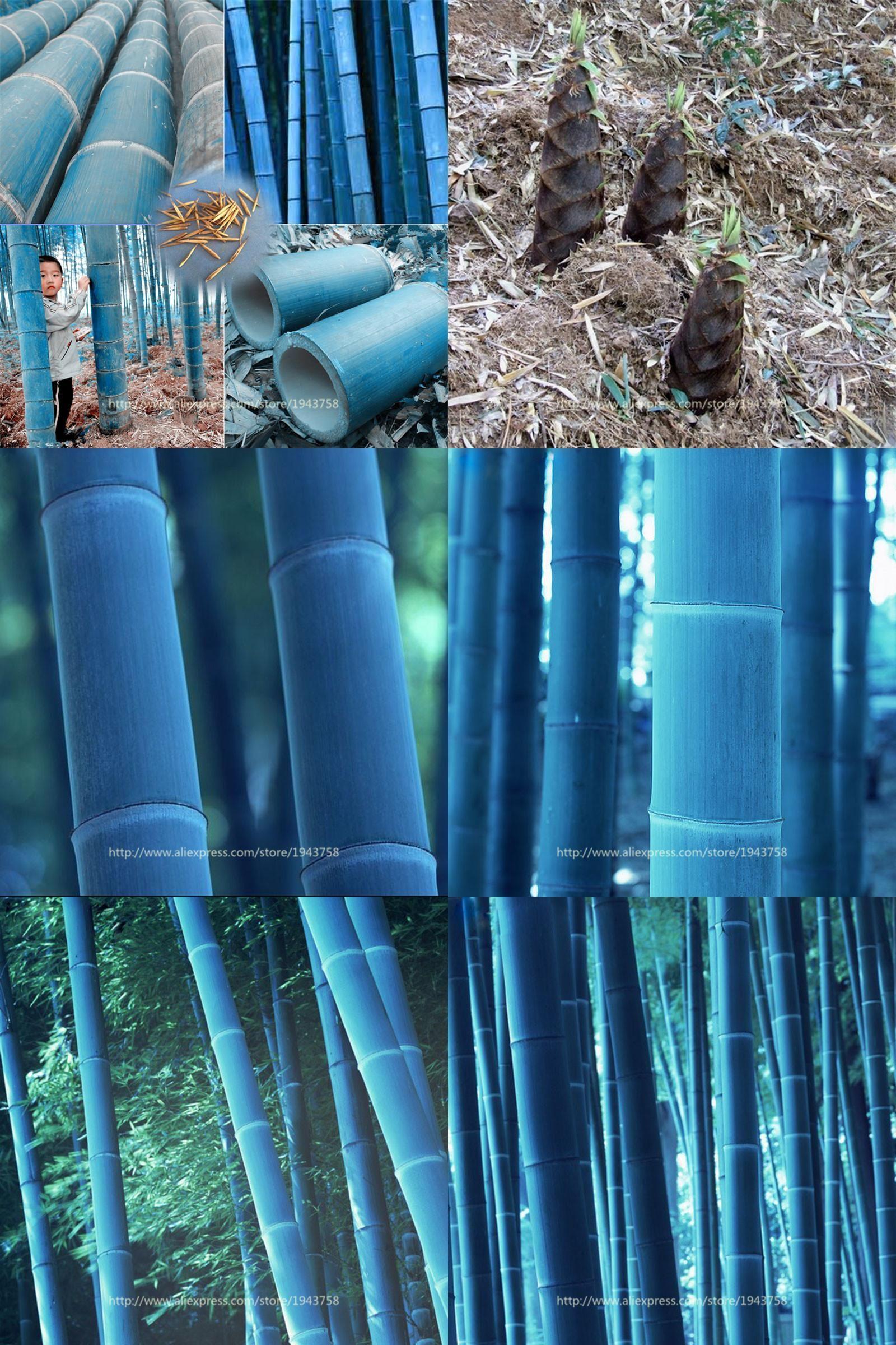Visit to Buy] 20 pcs/bag Chinese Blue Bamboo Seeds,MOSO