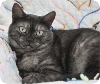 Coy Smoke Sisters Adopted Cat Davis Ca American Shorthair Black Smoke Cat American Shorthair Cat Tabby
