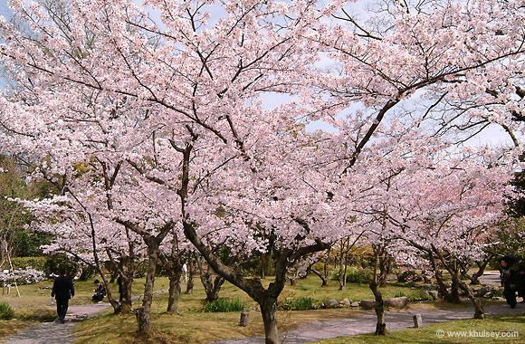 Pin By Lex House On Favorite Places Spaces Cherry Blossom Cherry Blossom Season Pink Trees