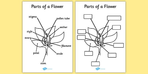 Parts of a Plant and Flower Reference Sheet and Labelling – Parts of a Flower Worksheet