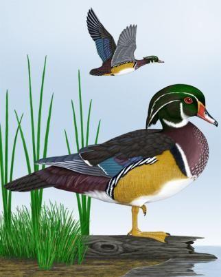 Wood Duck - Whatbird.com