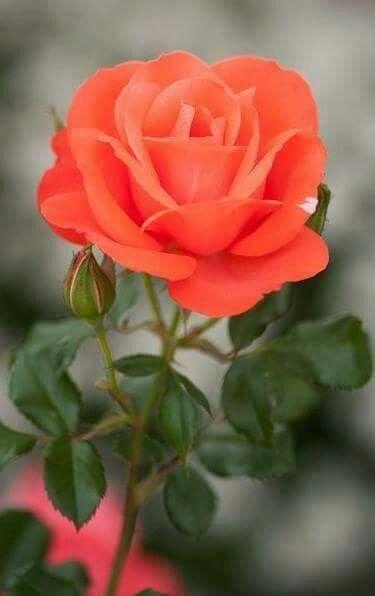 e51faa972 Rosa Roja | Roses | Flowers, Roses pinterest, Beautiful flowers