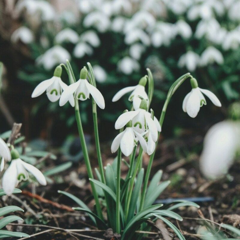 Spring Mood With First Snowdrops Flowers Schneeglockchen In 2020 Snow Drops Flowers Flowers Dried Flowers