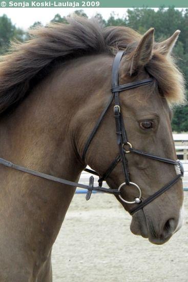 Estonian horse ♥ ♥ aksu