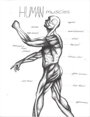 8th grade ~ Human Anatomy ~ Muscles ~ main lesson book