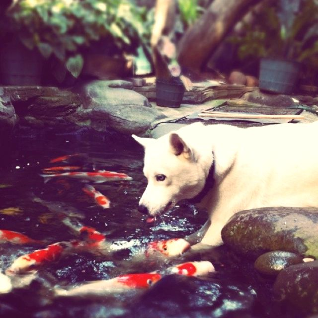 Only Problem With Having A Koi Pond The Dogs And The Cats