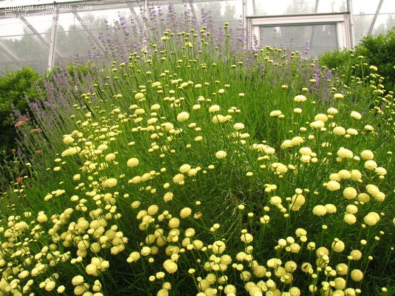 Green Lavender Cotton An Herb With Pungent Foliage And Small